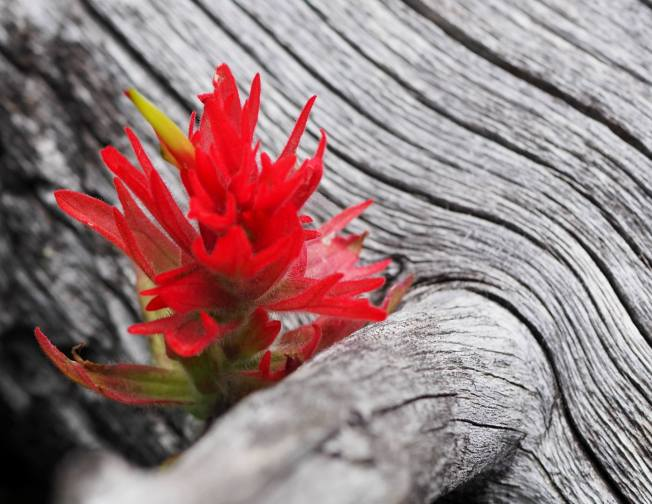 Indian paintbrush. Photo by Ryan.